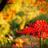 『上海・古猗园で彼岸花を愉しむ…はずが』の画像
