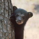 『残された仔グマたち:フロリダのクマ大虐殺続報』の画像