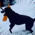 【イヌ】 雪かきをするためにシャベルを用意した。手伝うワン♪ → 犬はこうなった…