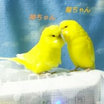 PBFDそらちゃんと☆あむしろインコ日記☆