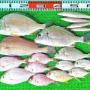 ハイカラ釣りでマダイやキビレ!意外なゲストに尺超えカマス!