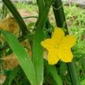 キューりの黄色い花、ししとう・唐辛子