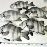 『国東の食環境(59)・石鯛』の画像