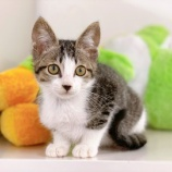 『【子猫】メロンくん 里親募集中です』の画像