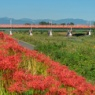 多摩川の彼岸花とオレンジ電車 Hino