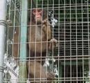 脱走のロデオ芸サル「みわ」、依然行方不明 目撃情報2件、「公園内の木にバナナ。早く帰ってきて」