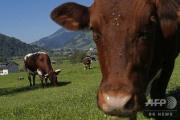 【国際】アルプス山脈で牛の群れに踏みつぶされてドイツ女性(45)死亡・・・放牧していた畜産農家に6150万円賠償命令 オーストリア