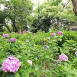 『藤森神社 紫陽花苑開園 2020年 【情報】』の画像