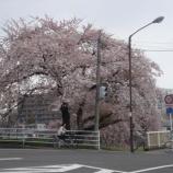 『わが家の桜10 12』の画像