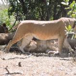 『母の愛:仔を守る母ライオンの強さ』の画像