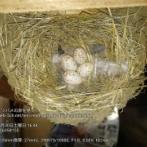 【画像】ツバメの卵を見て…
