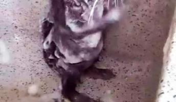 【ガチ】ネズミが人間のように体を洗う姿が目撃される!!(動画あり)