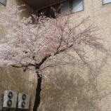 『僕的さくら標準木の今日』の画像