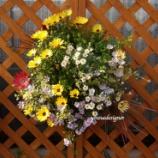 『黄色いオステオスペルマムと斑入りブルーデージでキラキラハンギングバスケット』の画像