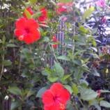 『夏の花』の画像