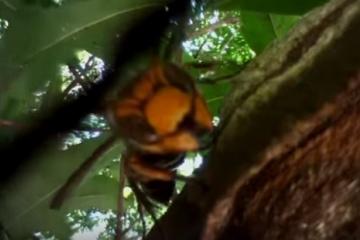 オオスズメバチよりも強いハチを作ろうぜ!!