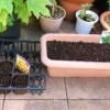 初心者が家庭菜園をはじめました!ひまわりと大根の種まきをした話