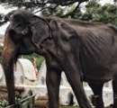 スリランカで奴隷のように扱われていたガリガリのゾウ 奴隷生活の末に死亡