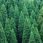 昔の官僚「木材不足が予想される?せや、スギいっぱい植えたろ!」
