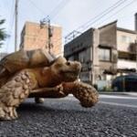 【画像】巨大亀の「ボンちゃん」、ゆっくりお散歩で街の人気者に