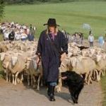 羊飼いが居眠りをしているあいだにヒツジ1000頭が脱走し町に押し寄せる