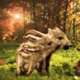 『渥美半島の野生イノシシ絶滅作戦』の画像