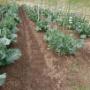 スティックセニョールの追肥と土寄せ