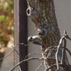 『小啄木鳥(コゲラ) ~庭に来る野鳥~』の画像