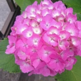 『[写真] 紫陽花(Xperia Z3 Compact)』の画像
