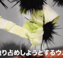 【朗報】ウニ、キャベツをムシャムシャ食べる