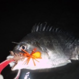 『紅ショウガで釣る!奥浜名湖キビレゲーム』の画像