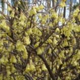 『花 日向水木』の画像