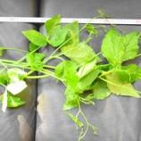 『私のマイクロバブル生活研究(29)野菜生活⑦』の画像