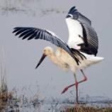 『保護されたコウノトリの放鳥』の画像