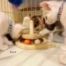 子猫が騙されるおもちゃ