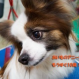『愛犬の誕生日プレゼントに『a-cube Hi-LINE(エイ・キューブ ハイライン)』の本革首輪を!』の画像