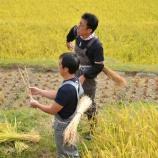 『稲刈りの様子をご紹介』の画像