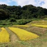 『今週末から稲刈りが始まります』の画像