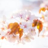 『キラキラ桜Sparkling cherry blossoms.』の画像