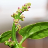 『緑砦館NOW(20)ツルムラサキの花』の画像