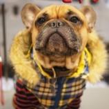 『【新作】フレブル犬服「Buhix」入荷しました!』の画像
