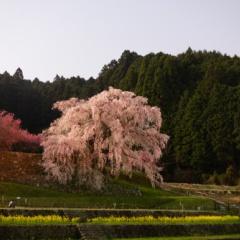 夜の又兵衛桜【2018】