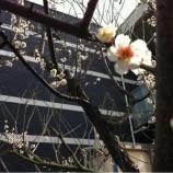 『戸田市に春の訪れ・紅白梅!』の画像