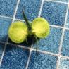 楽しい野菜生活 ナスの1番花とトマトの1番果