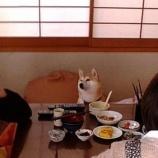 『着席する柴犬』の画像