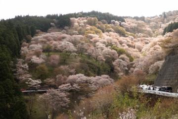 吉野山桜サイクリング【2017】