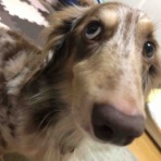 ロイロイな日々 ~5歳の痴呆犬~