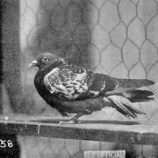 『シェール・アミ:兵士たちの命を救った鳩』の画像