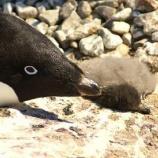 『たった2羽の生き残り:南極アデリーペンギンの雛壊滅』の画像