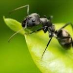 傷ついた仲間を手当てして回復させるアリを発見!治療により死亡率は80%から10%へ低下するwww